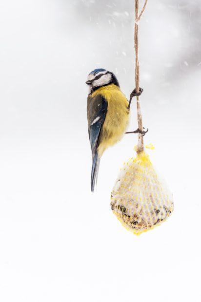 Die Blaumeise isst Blattläuse, Spinnen und Schmetterlinge, im Winter Bucheckern und Eicheln – normalerweise Foto: marsj/ photocase.de