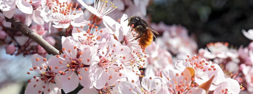 19.03.2014, Zuerich, Kanton Zuerich, Schweiz - Rote Mauerbiene sammelt Nektar auf einer Kirschbluete. 00S140319D010.JPG MODEL RELEASE: NOT APPLICABLE, PROPERTY RELEASE: NOT APPLICABLE MR:Y19 03 2014 Zurich Canton Zurich Switzerland red Wall bee collects Nectar on a Cherry blossom  JPG Model Release Not APPLICABLE Property Release Not APPLICABLE Mr y