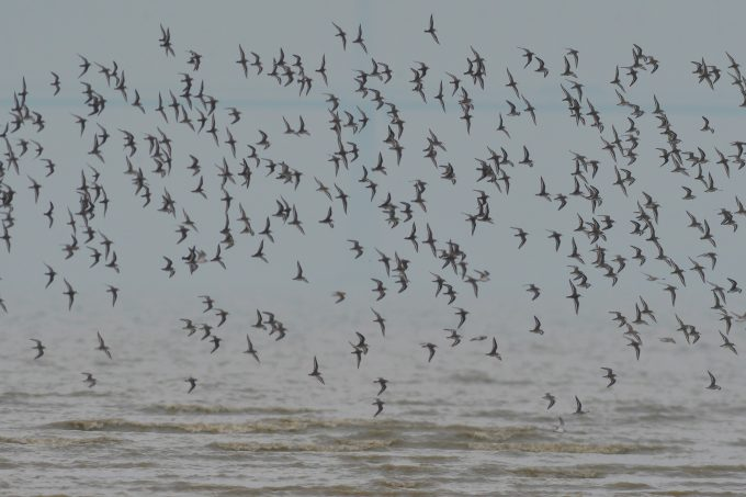 Birds fly near the beach in Qingdao city, east China s Shandong province, 12 October 2019. Large birds migration seen in east China PUBLICATIONxINxGERxAUTxSUIxONLY 776049080941150223