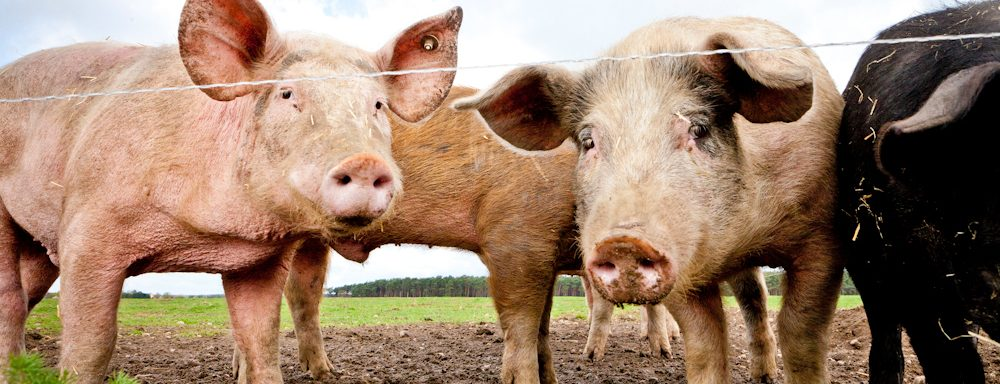 Backschwein Tenne